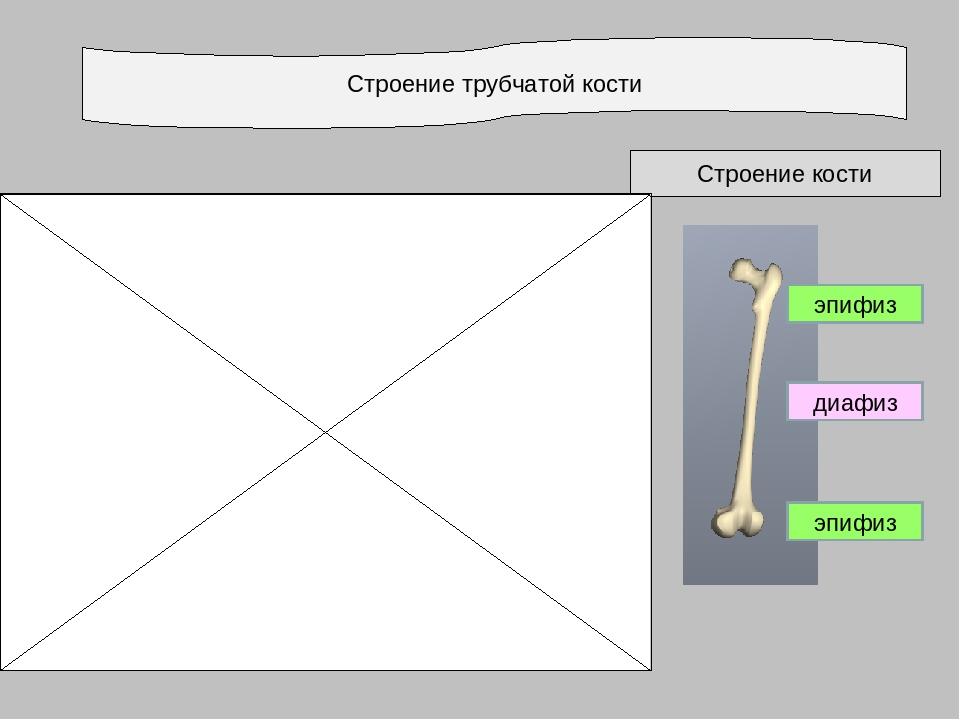 Строение трубчатой кости Строение кости эпифиз диафиз эпифиз