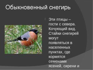 Обыкновенный снегирь Эти птицы – гости с севера. Кочующий вид. Стайки снегире