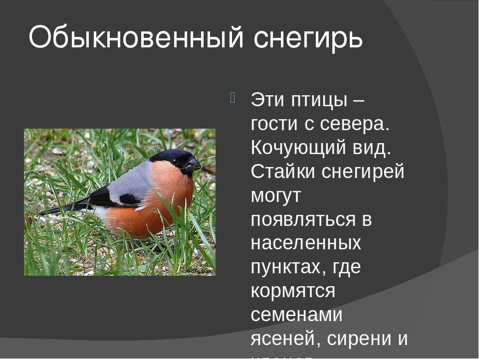 Обыкновенный снегирь Эти птицы – гости с севера. Кочующий вид. Стайки снегире...