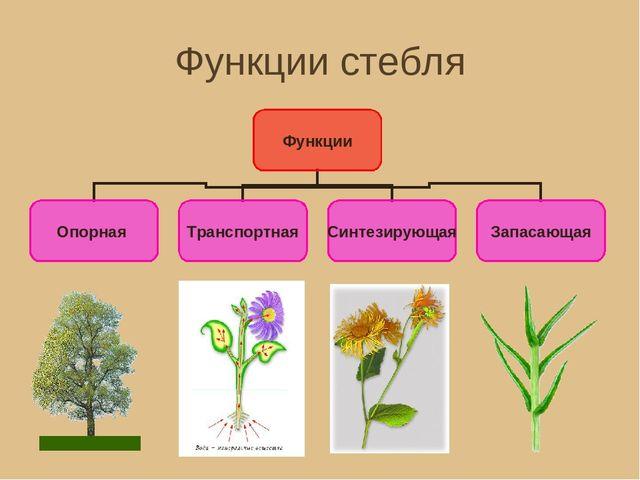 Многобразие стебля