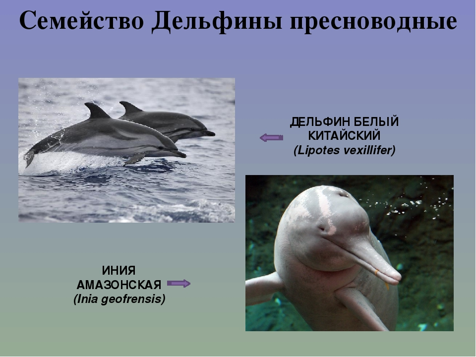Семейство Дельфины пресноводные ДЕЛЬФИН БЕЛЫЙ КИТАЙСКИЙ (Lipotes vexillifer)...