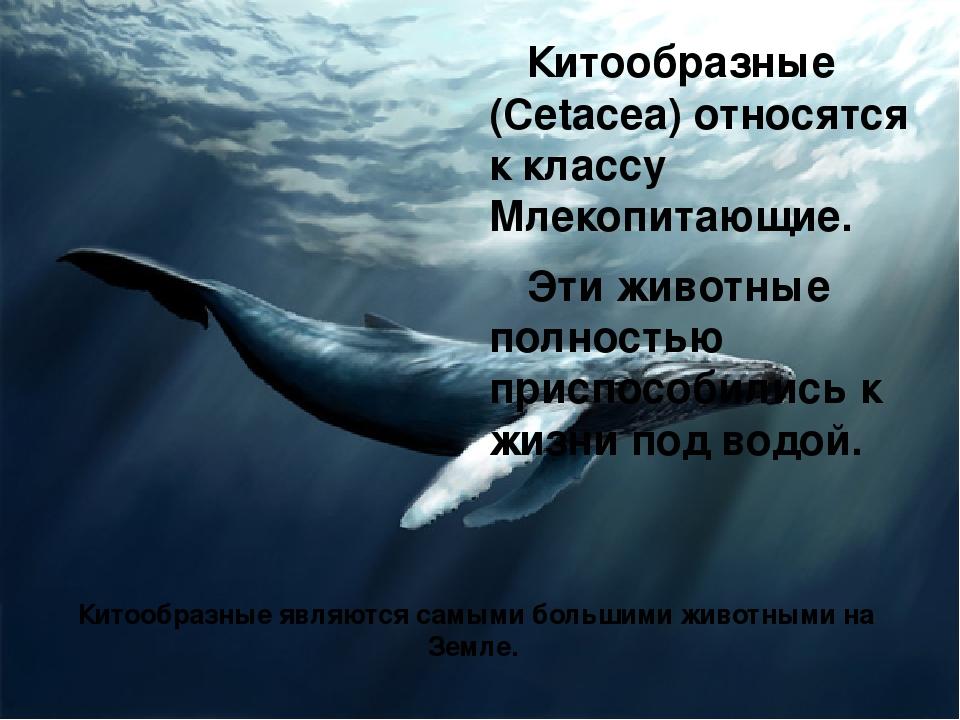 Китообразные (Cetacea) относятся к классу Млекопитающие. Эти животные полност...
