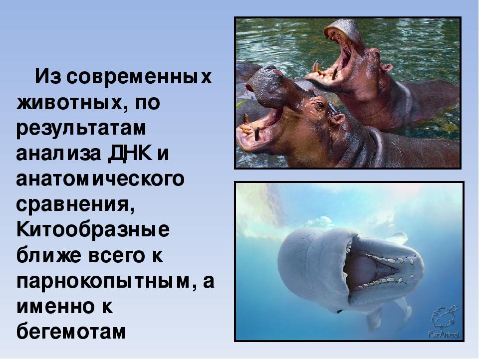 Из современных животных, по результатам анализа ДНК и анатомического сравнени...