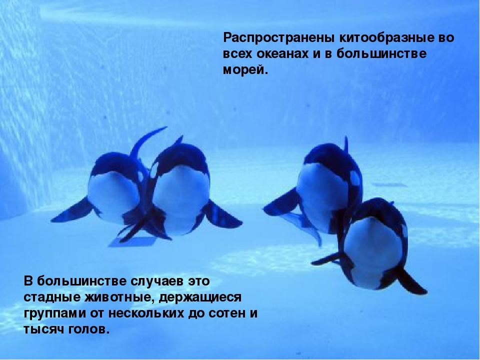Распространены китообразные во всех океанах и в большинстве морей. В большинс...