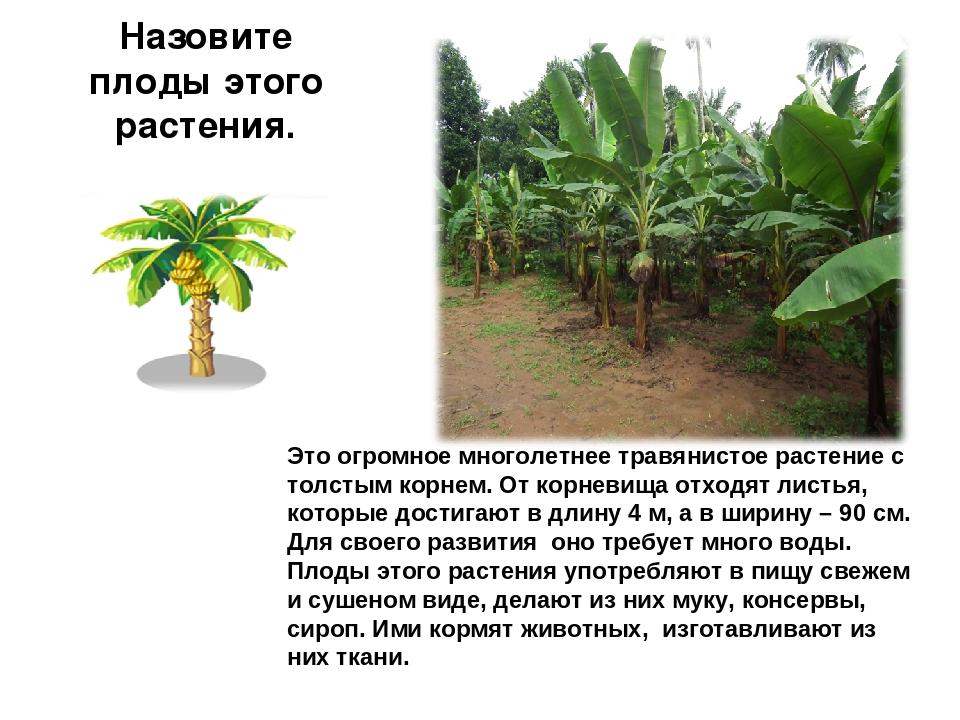 Назовите плоды этого растения. Это огромное многолетнее травянистое растение...