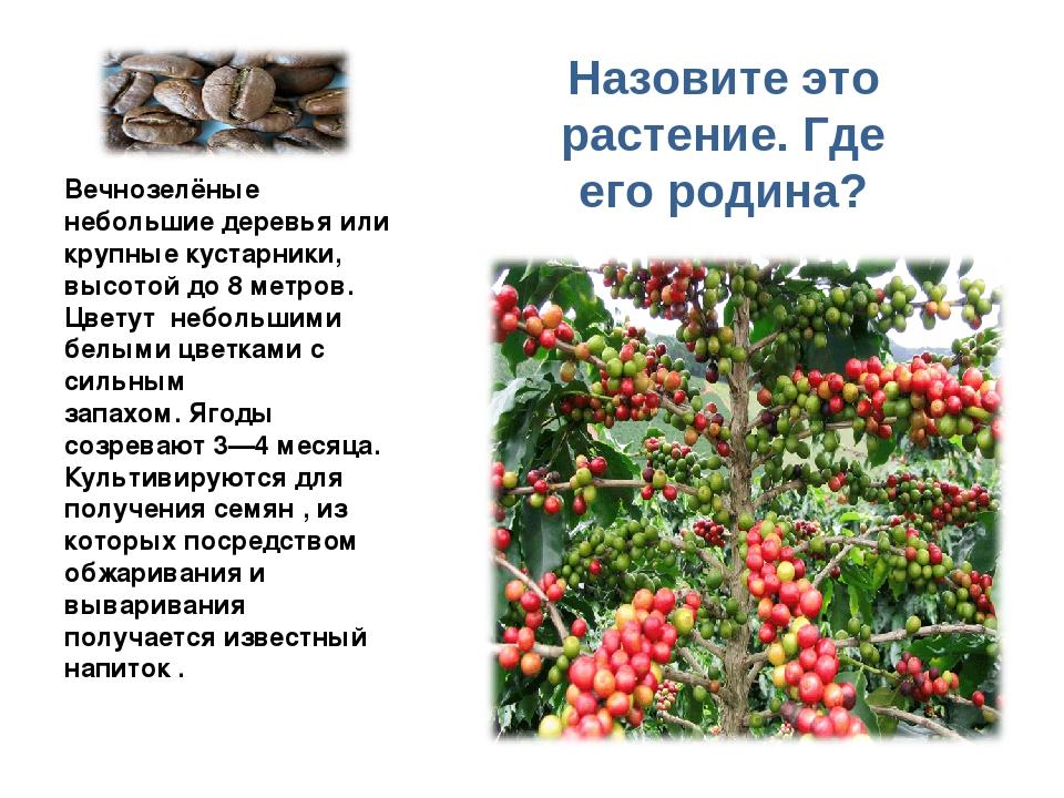 Вечнозелёные небольшие деревья или крупные кустарники, высотой до 8 метров. Ц...