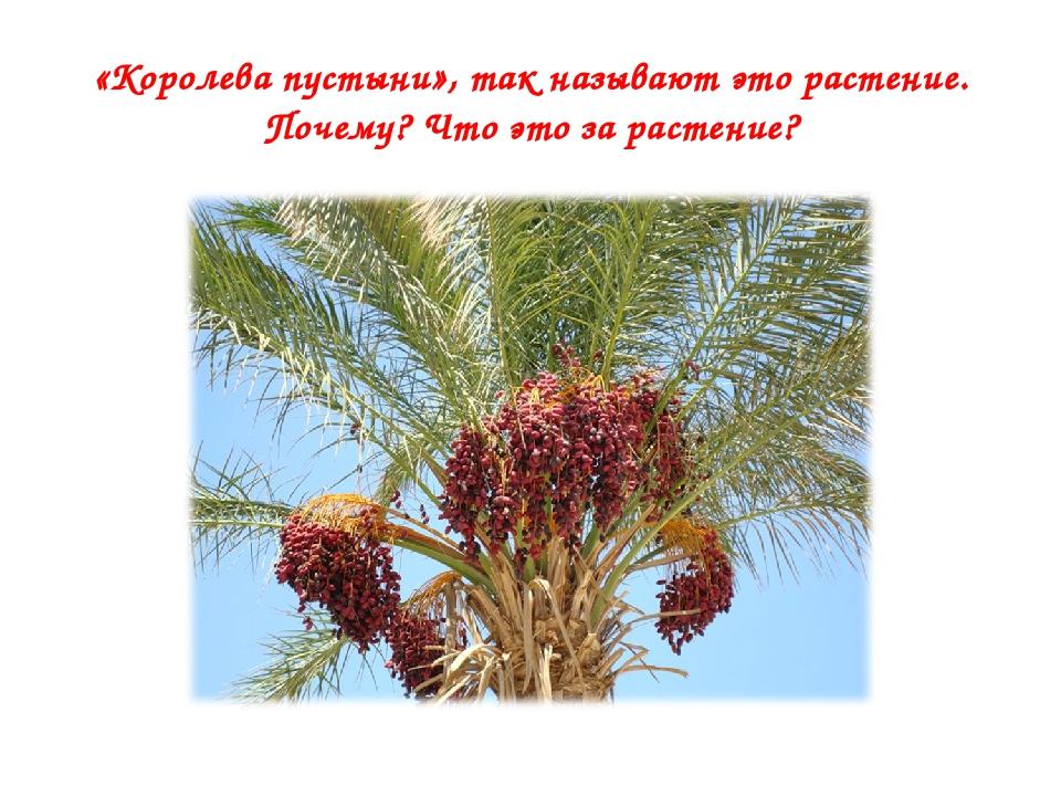 «Королева пустыни», так называют это растение. Почему? Что это за растение?