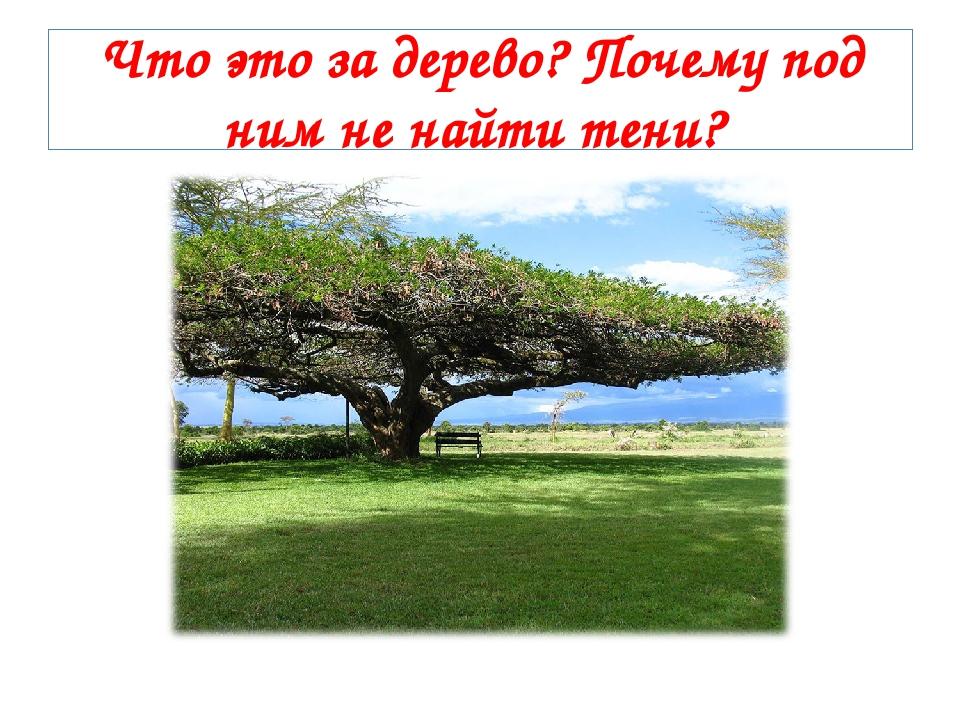 Что это за дерево? Почему под ним не найти тени?
