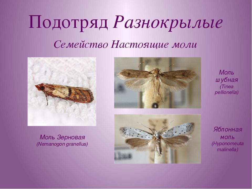 Подотряд Разнокрылые Семейство Настоящие моли Моль Зерновая (Nemanogon granel...