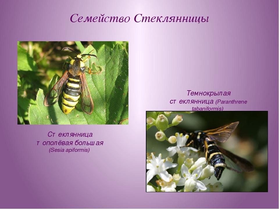 Семейство Стеклянницы Стеклянница тополёвая большая (Sesia apiformis) Темнокр...
