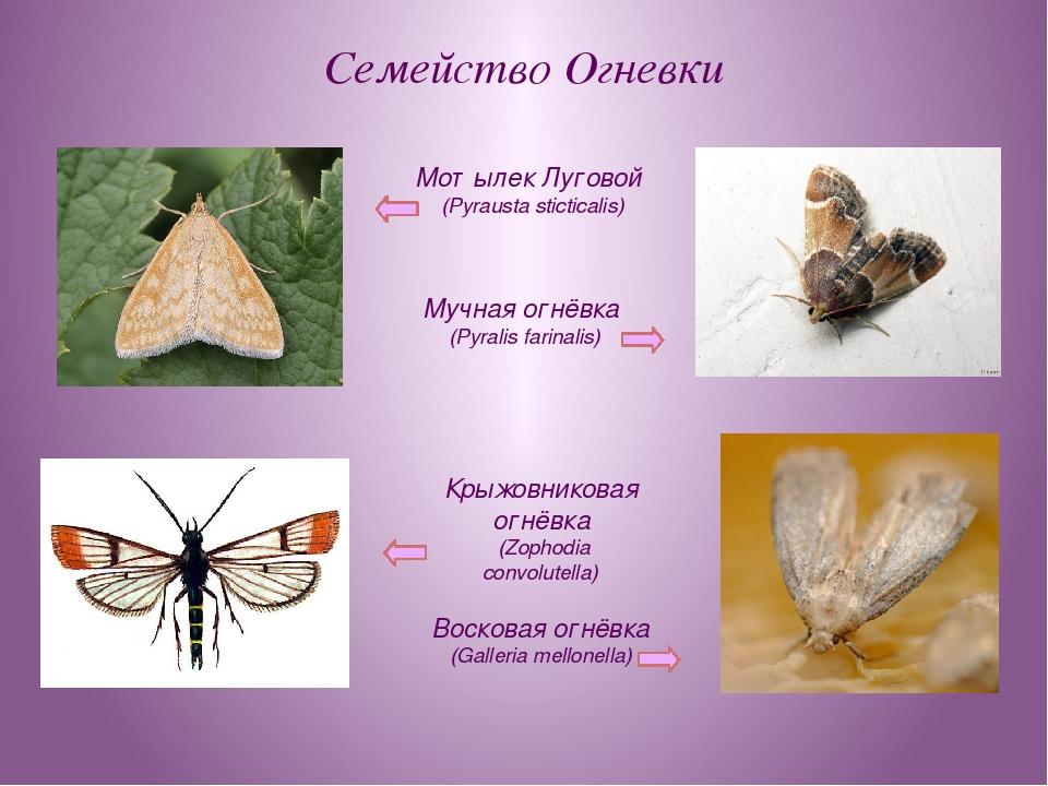Семейство Огневки Мотылек Луговой (Pyrausta sticticalis) Мучная огнёвка (Pyra...