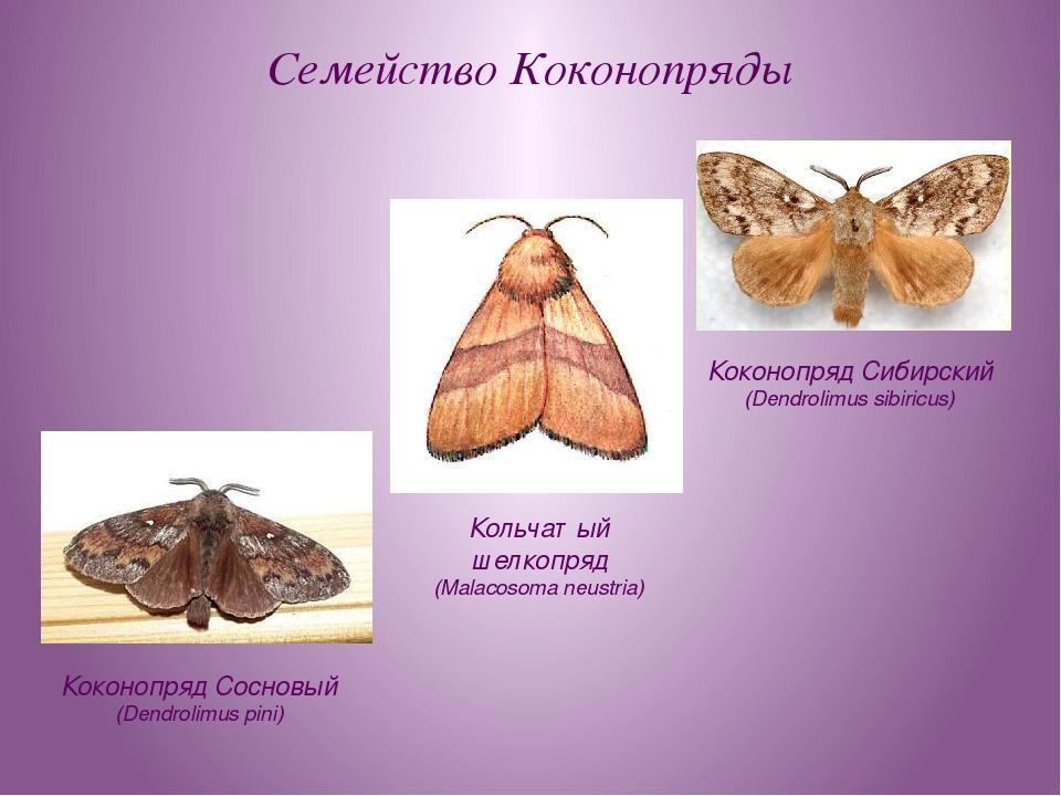 Семейство Коконопряды Коконопряд Сосновый (Dendrolimus pini) Коконопряд Сибир...