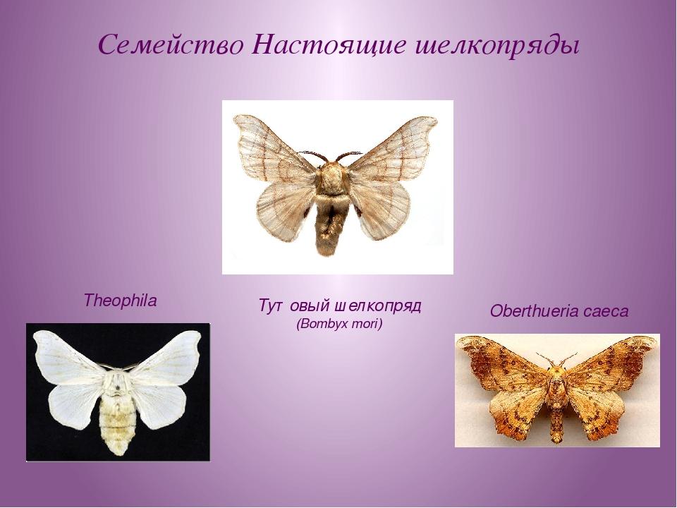 Семейство Настоящие шелкопряды Тутовый шелкопряд (Bombyx mori) Theophila Ober...
