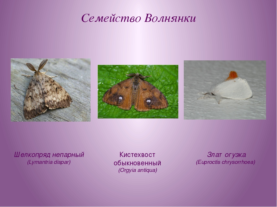 Семейство Волнянки Шелкопряд непарный (Lymantria dispar) Златогузка (Euprocti...