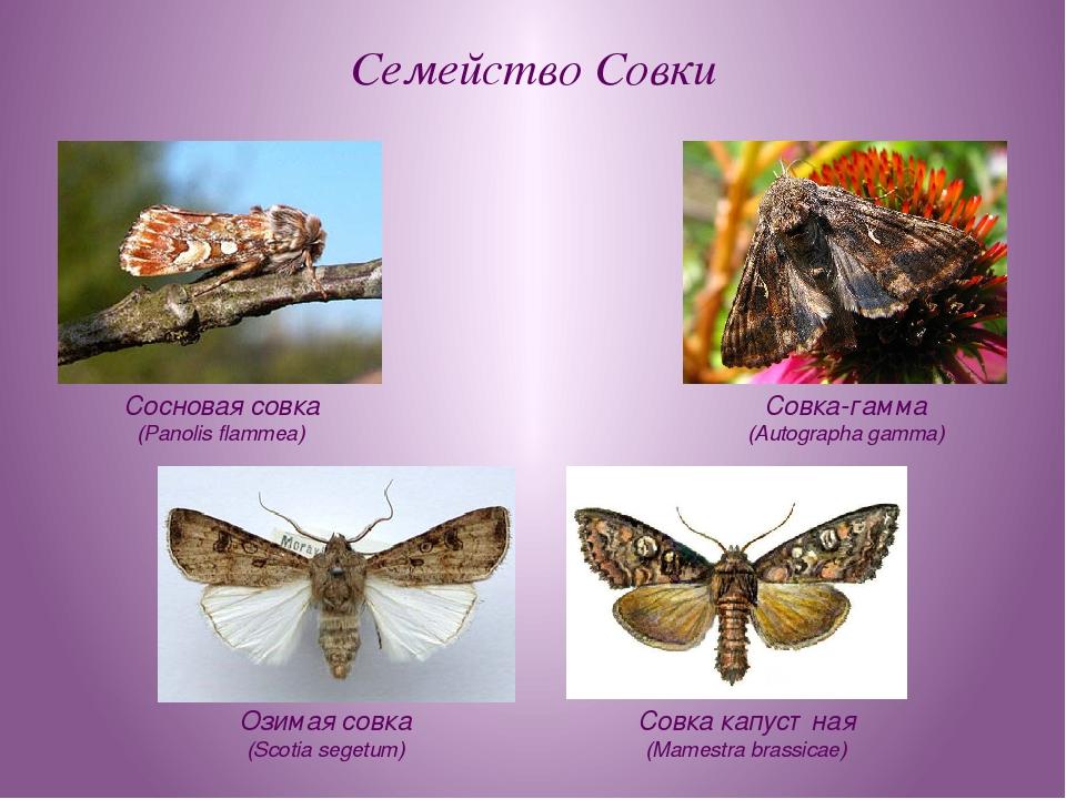 Семейство Совки Озимая совка (Scotia segetum) Совка-гамма (Autographa gamma)...