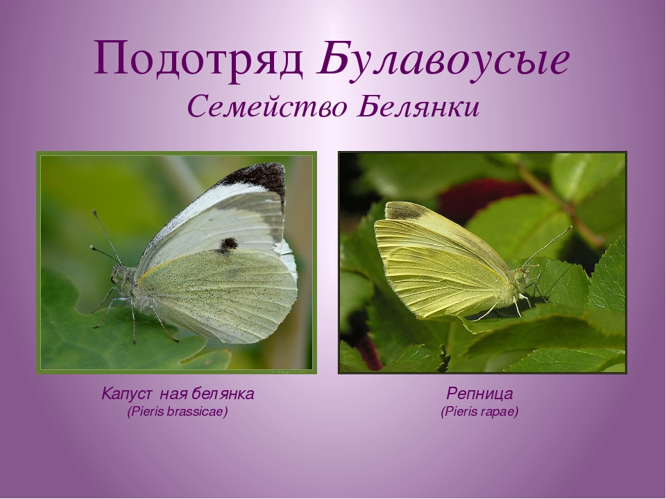 Подотряд Булавоусые Семейство Белянки Капустная белянка (Pieris brassicae) Ре...