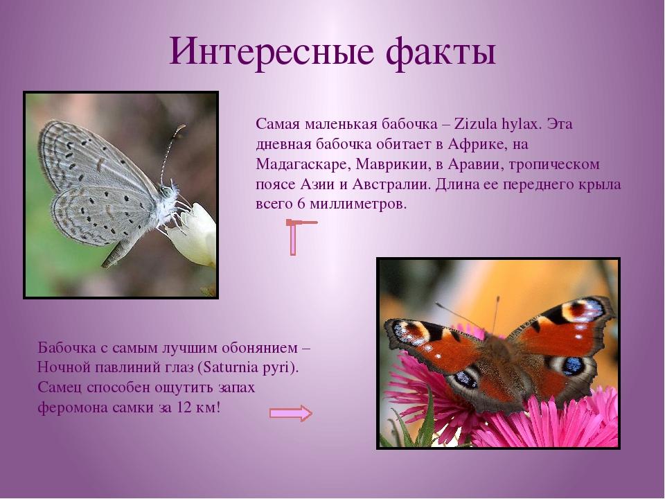 Интересные факты Самая маленькая бабочка – Zizula hylax. Эта дневная бабочка...