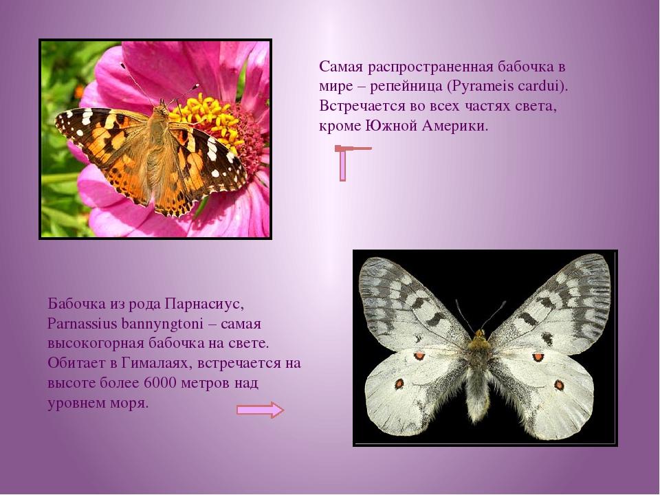 Самая распространенная бабочка в мире – репейница (Pyrameis cardui). Встречае...
