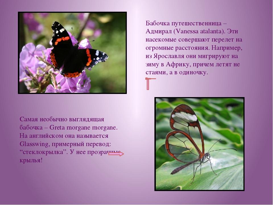 Бабочка путешественница – Адмирал (Vanessa atalanta). Эти насекомые совершают...