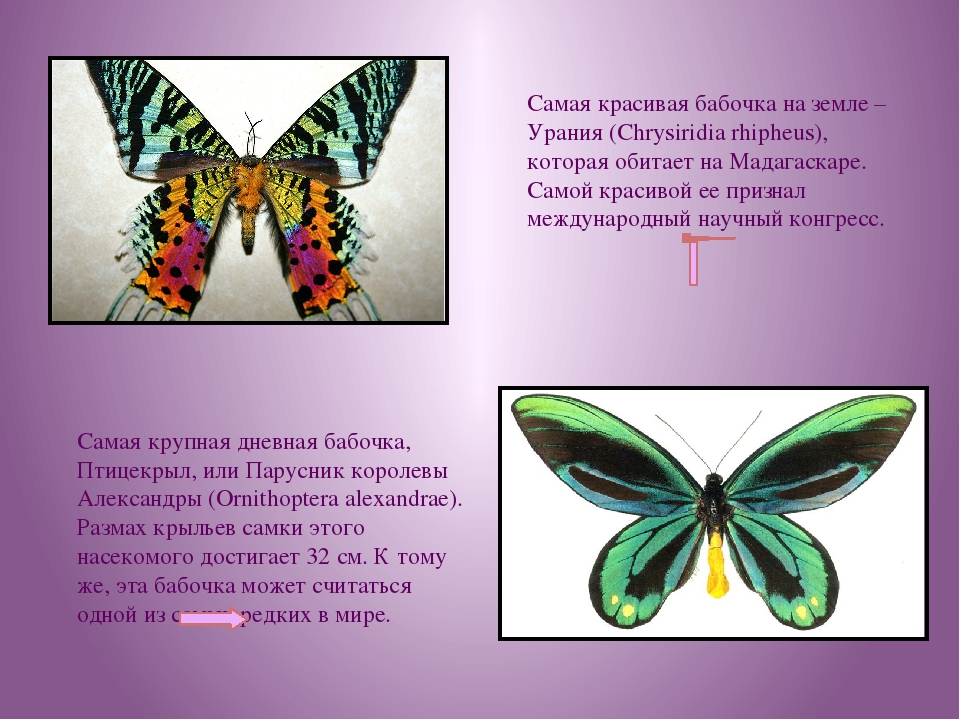 Самая красивая бабочка на земле – Урания (Chrysiridia rhipheus), которая обит...