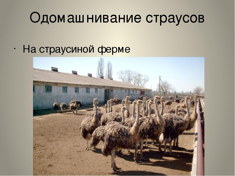 Одомашнивание страусов На страусиной ферме