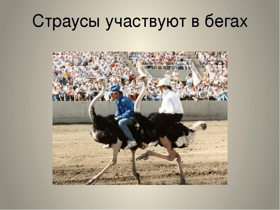 Страусы участвуют в бегах