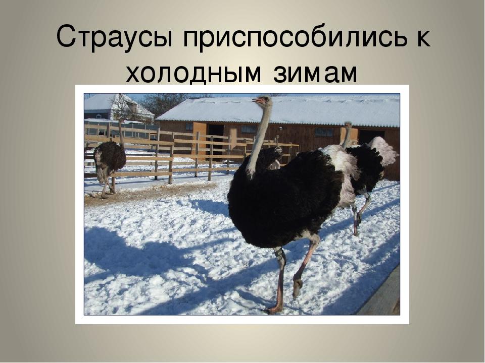 Страусы приспособились к холодным зимам