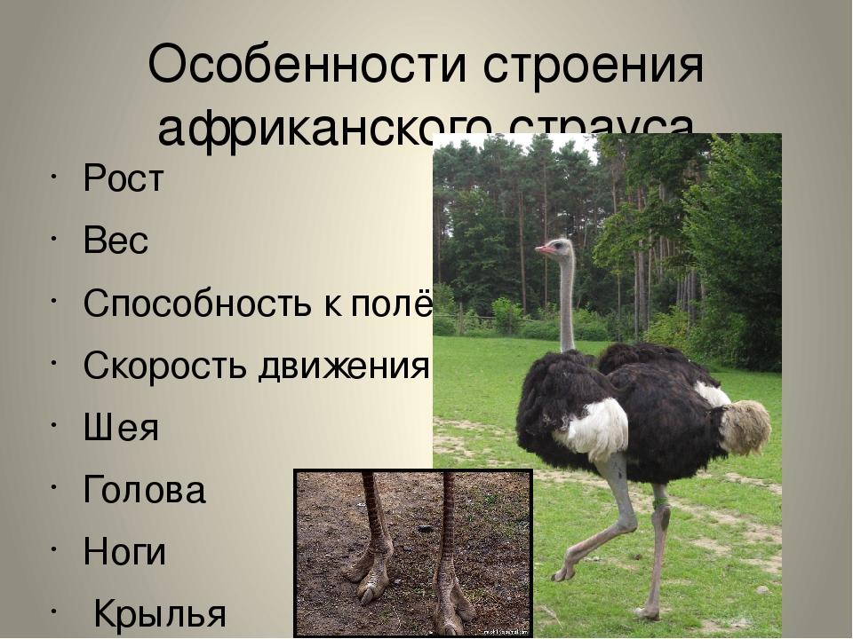 Особенности строения африканского страуса Рост Вес Способность к полёту Скоро...