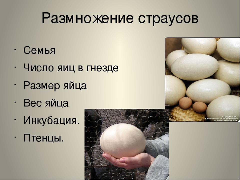 Размножение страусов Семья Число яиц в гнезде Размер яйца Вес яйца Инкубация....