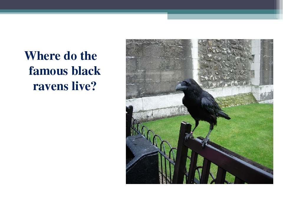 Where do the famous black ravens live?