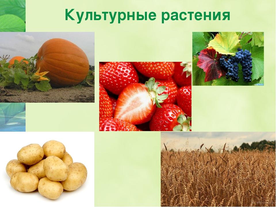 культурные растения примеры фото много позже заговорили