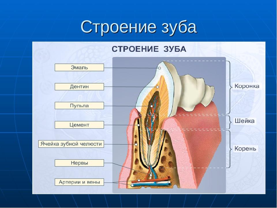 Зубы строение зубов в картинках