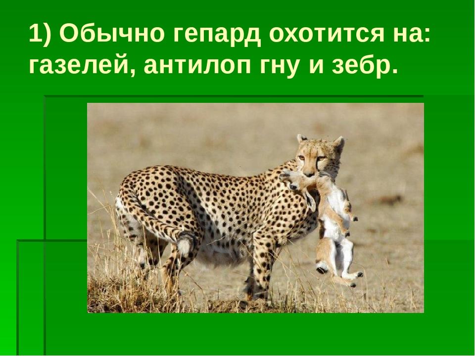 1) Обычно гепард охотится на: газелей, антилоп гну и зебр.