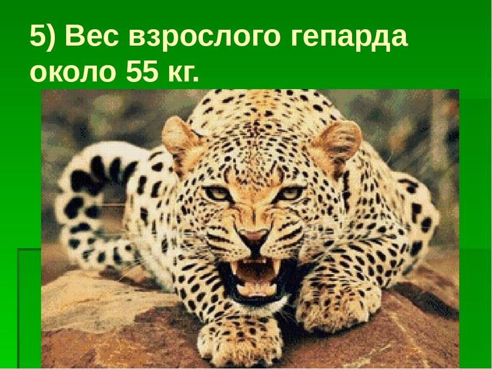 5) Вес взрослого гепарда около 55 кг.