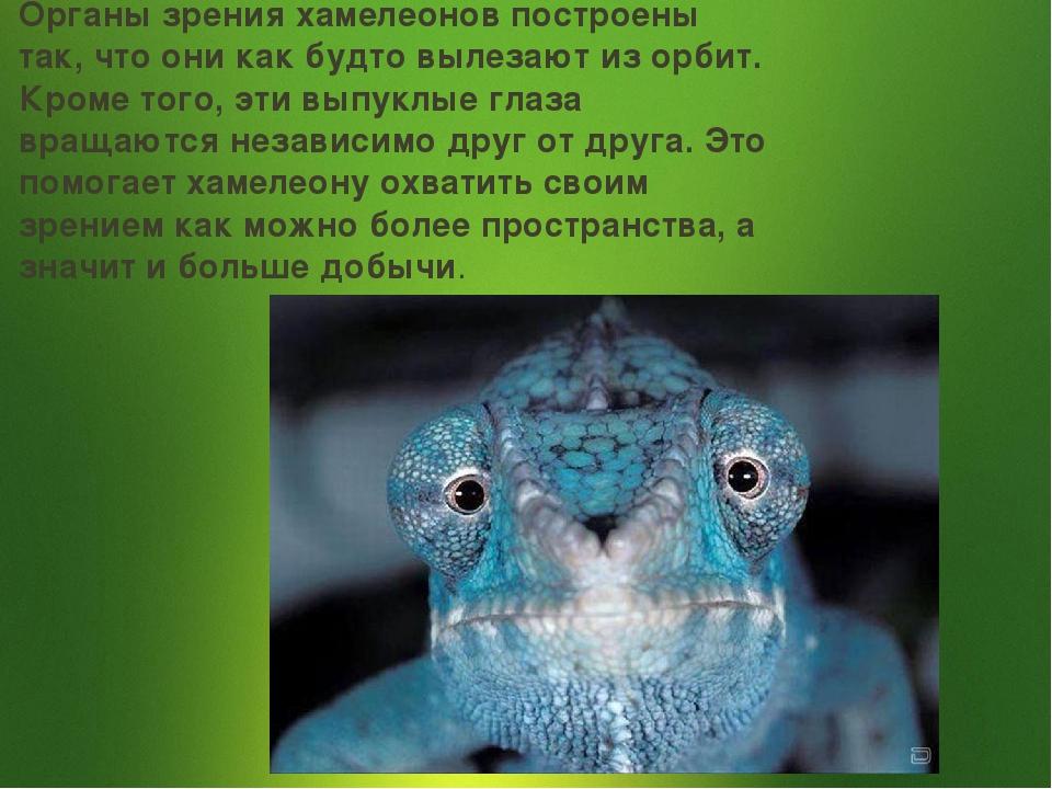 Органы зрения хамелеонов построены так, что они как будто вылезают из орбит....