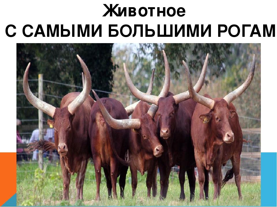 Животное С САМЫМИ БОЛЬШИМИ РОГАМИ