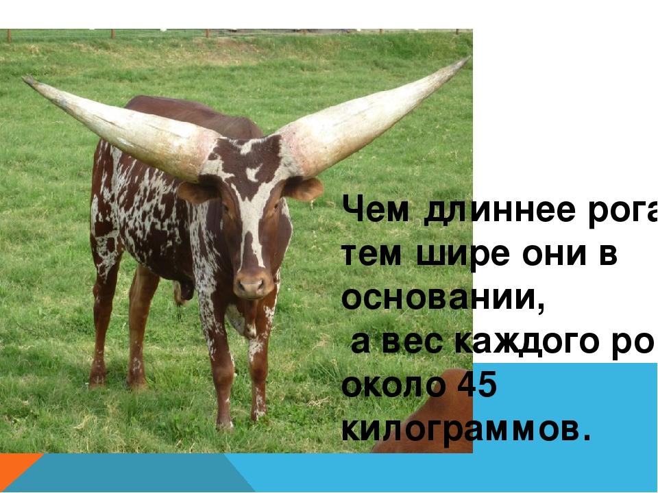 Чем длиннее рога, тем шире они в основании, а вес каждого рога около 45 кило...