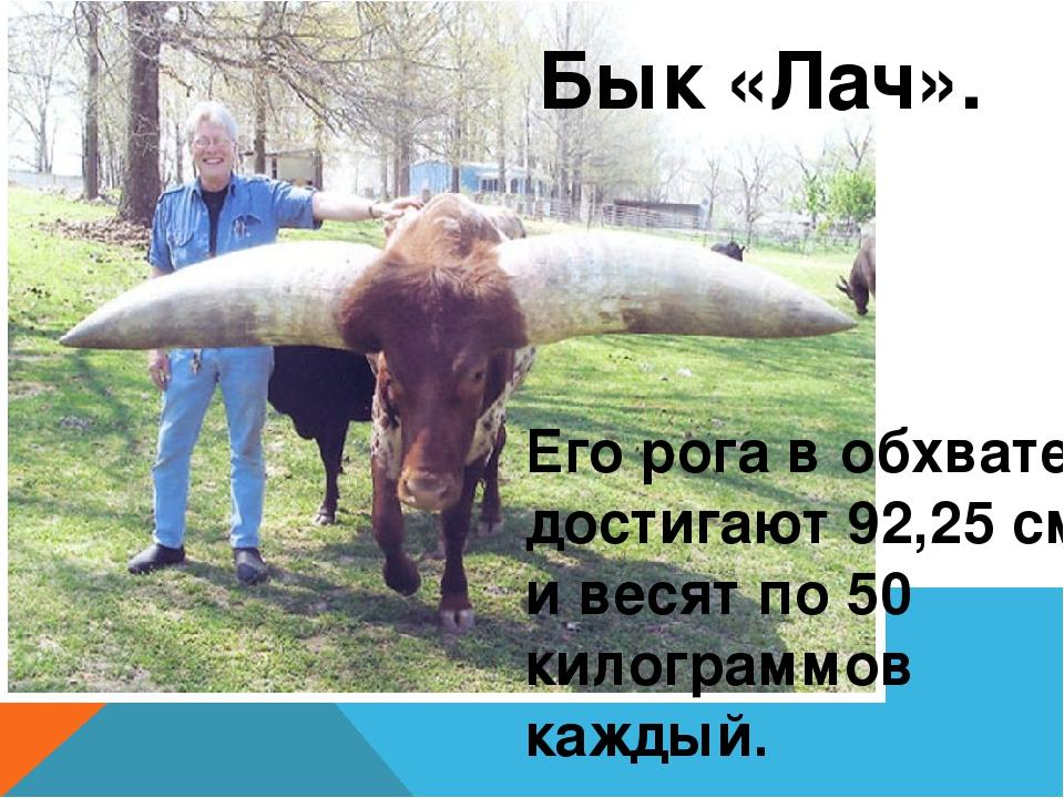 Бык «Лач». Его рога в обхвате достигают 92,25 см и весят по 50 килограммов к...