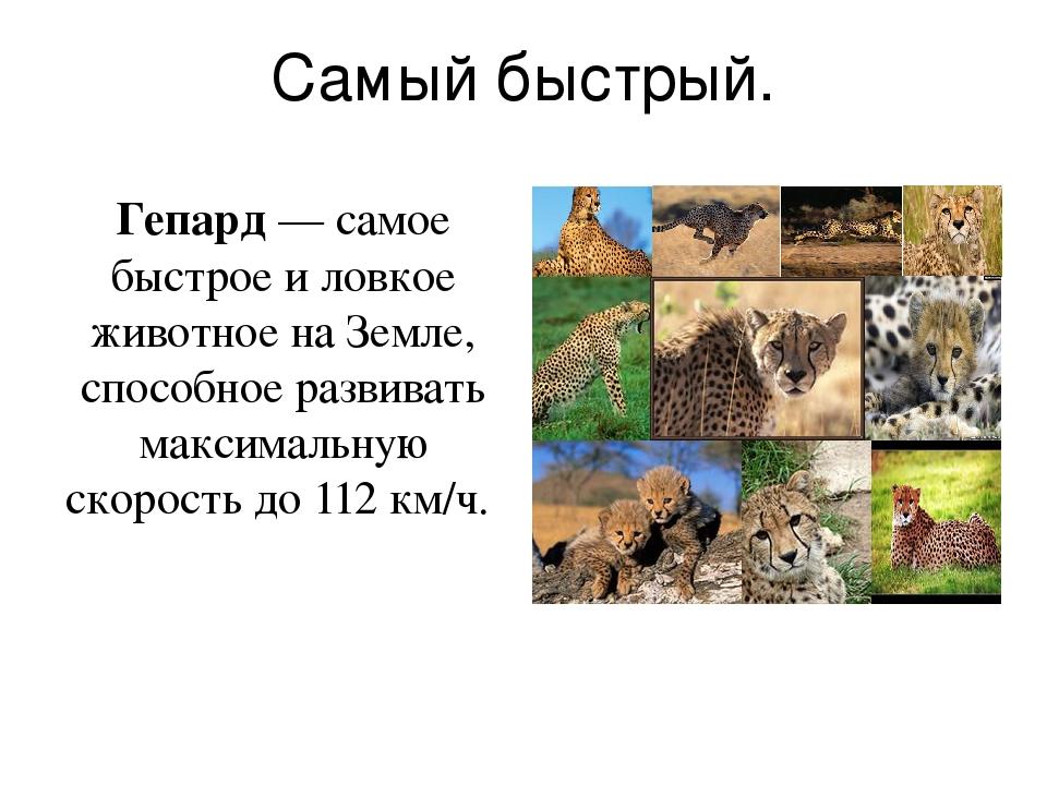 Самый быстрый. Гепард — самое быстрое и ловкое животное на Земле, способное р...