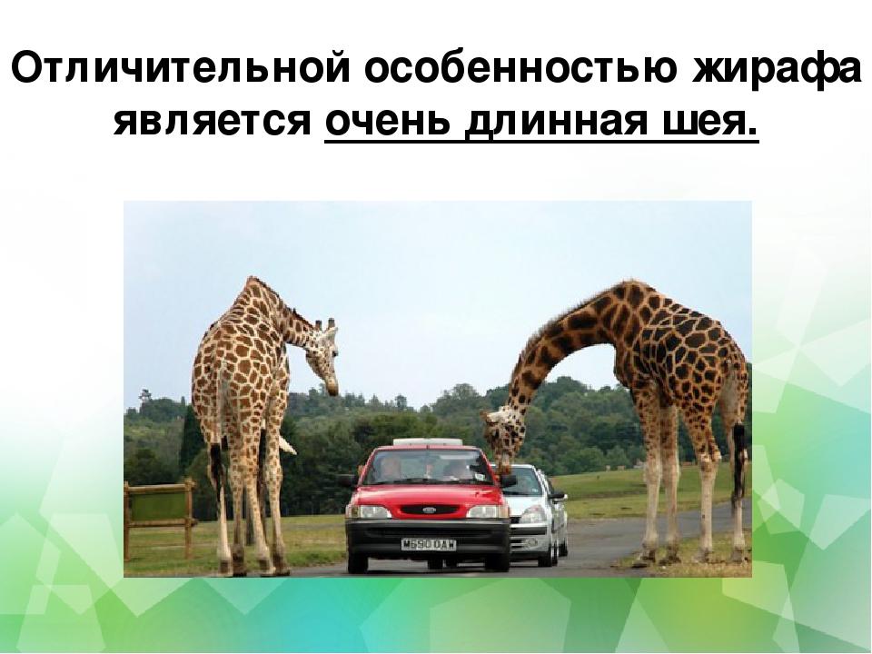 Отличительной особенностью жирафа является очень длинная шея.
