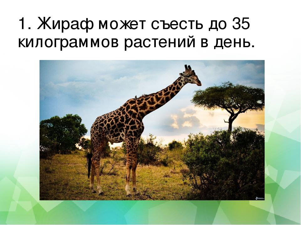 1. Жираф может съесть до 35 килограммов растений в день.