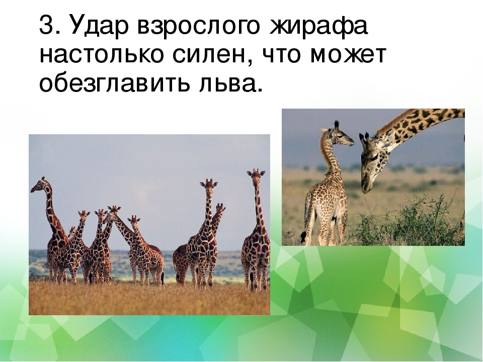 3. Удар взрослого жирафа настолько силен, что может обезглавить льва.