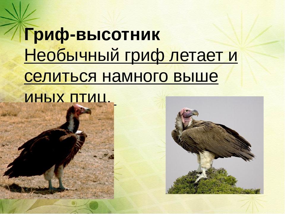 Гриф-высотник Необычный гриф летает и селиться намного выше иных птиц.