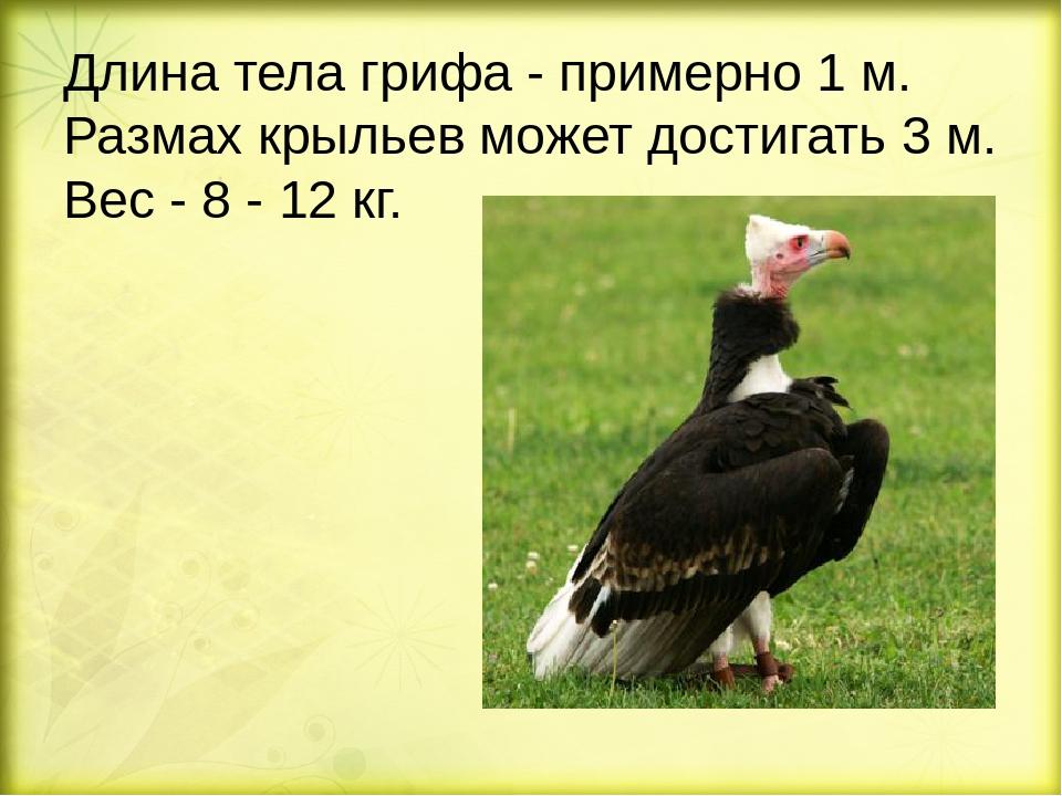 Длина тела грифа - примерно 1 м. Размах крыльев может достигать 3 м. Вес - 8...