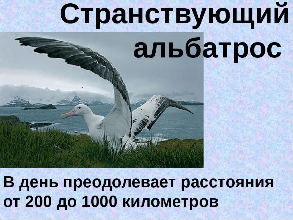 Странствующий альбатрос В день преодолевает расстояния от 200 до 1000 киломе...