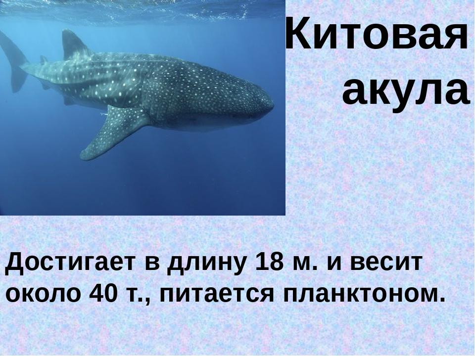 Китовая акула Достигает в длину 18 м. и весит около 40 т., питается планктоном.