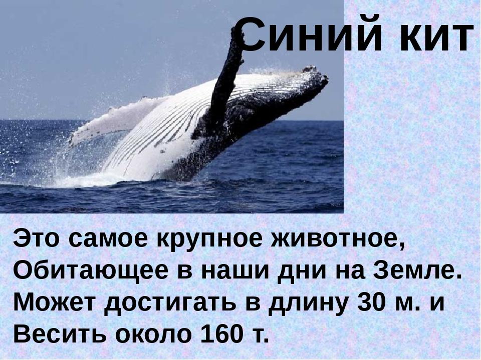 Синий кит Это самое крупное животное, Обитающее в наши дни на Земле. Может до...