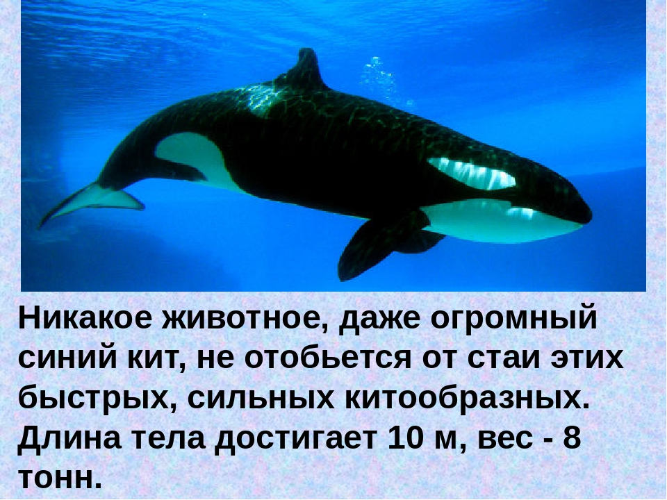 Никакоеживотное, даже огромный синий кит, не отобьется от стаи этих быстрых,...