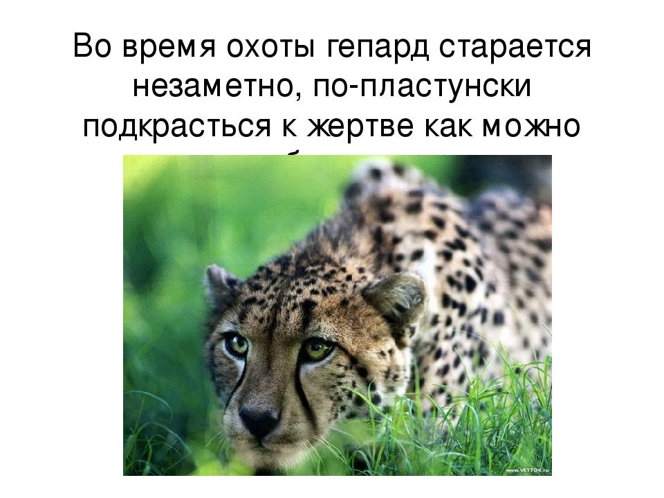 Во время охоты гепард старается незаметно, по-пластунски подкрасться к жертве...