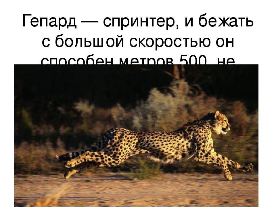 Гепард — спринтер, и бежать с большой скоростью он способен метров 500, не бо...